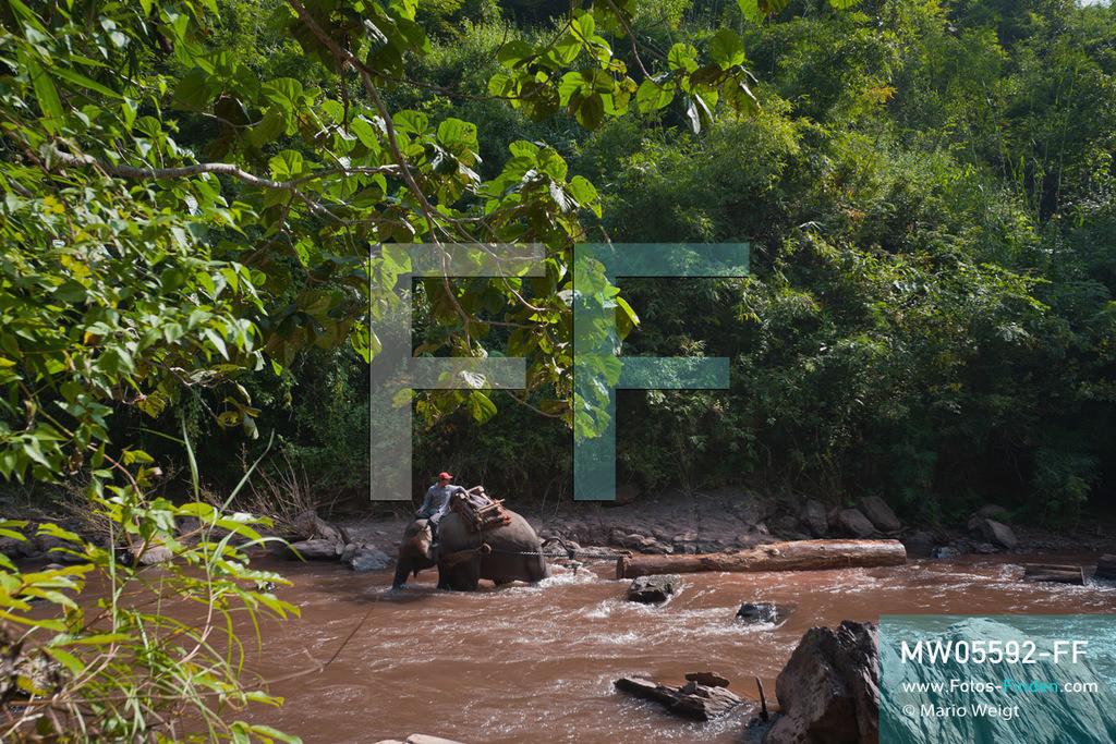MW05592-FF   Laos   Provinz Sayaboury   Reportage: Arbeitselefanten in Laos   Arbeitselefant zieht Baumstämme durch den Fluss. Der Mahut (Tierpfleger) gibt die Kommandos dafür. Lane Xang -