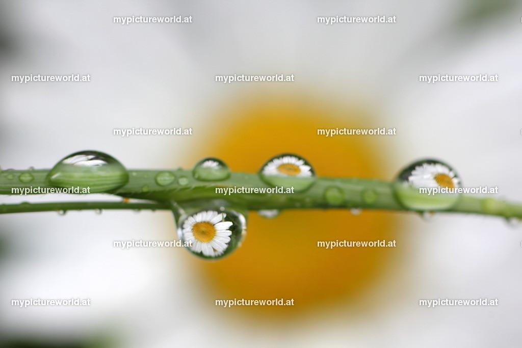 Wassertropfen-036 | Spiegelnde Margeriten in Wassertropfen