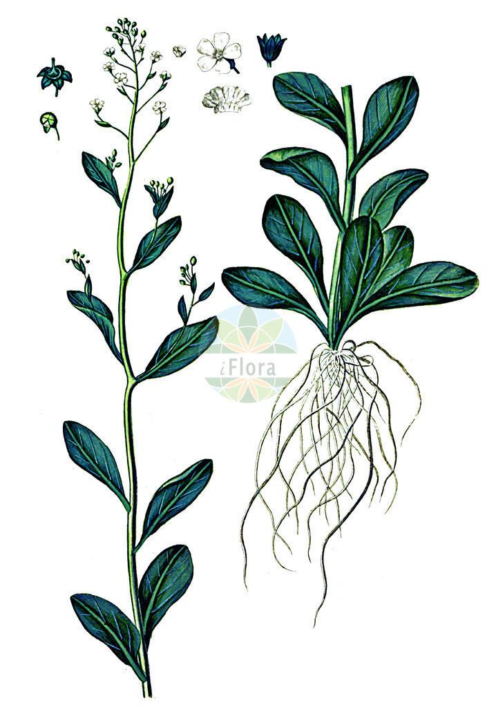 Samolus valerandi (Salz-Bunge - Brookweed) | Historische Abbildung von Samolus valerandi (Salz-Bunge - Brookweed). Das Bild zeigt Blatt, Bluete, Frucht und Same. ---- Historical Drawing of Samolus valerandi (Salz-Bunge - Brookweed).The image is showing leaf, flower, fruit and seed.