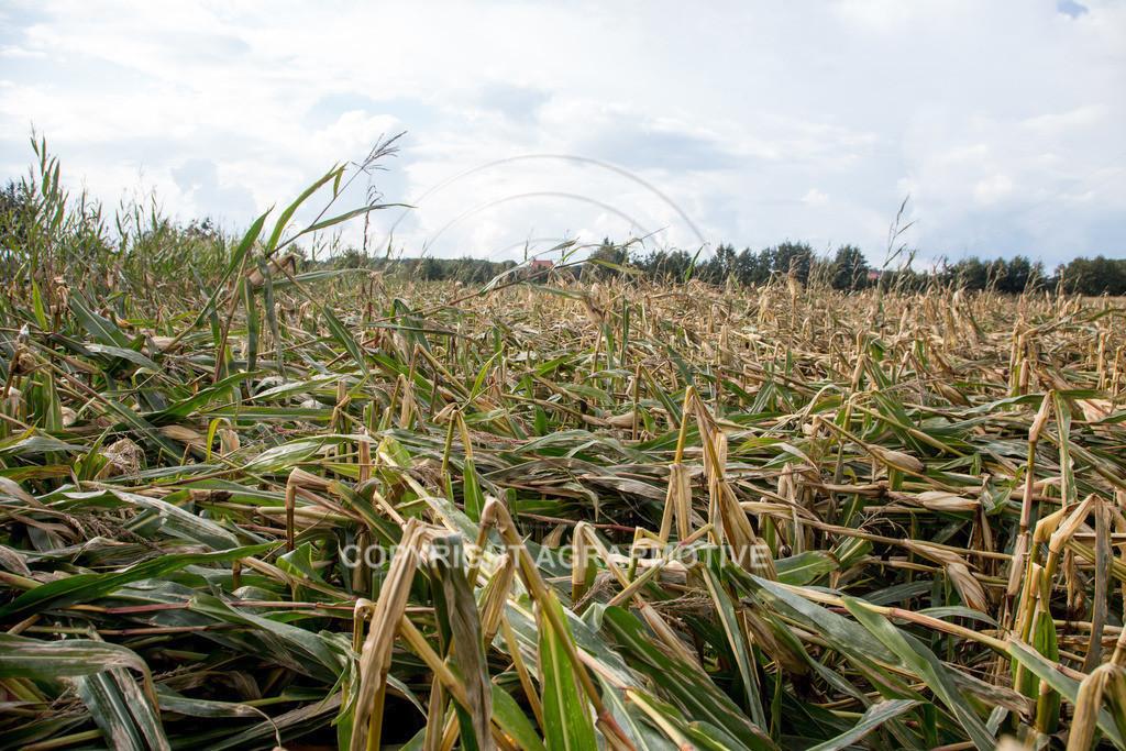 20170917-IMG_1132 | Ernteschaden im Mais durch Herbssturm