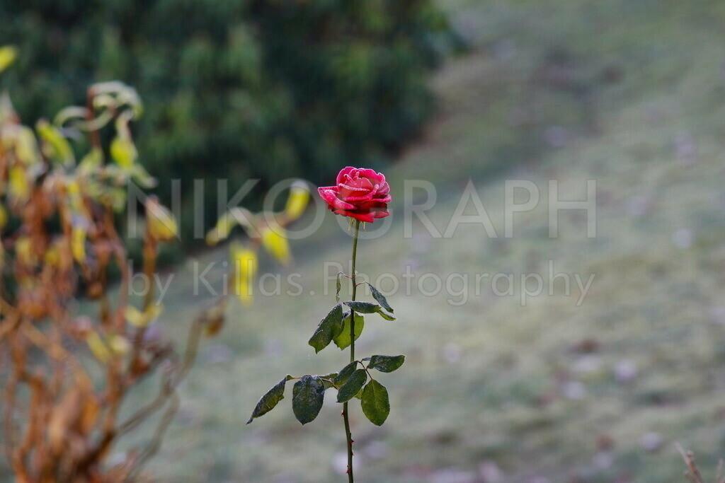 Frostige Rose   Eine frostige Rose im herbstlichen Garten.