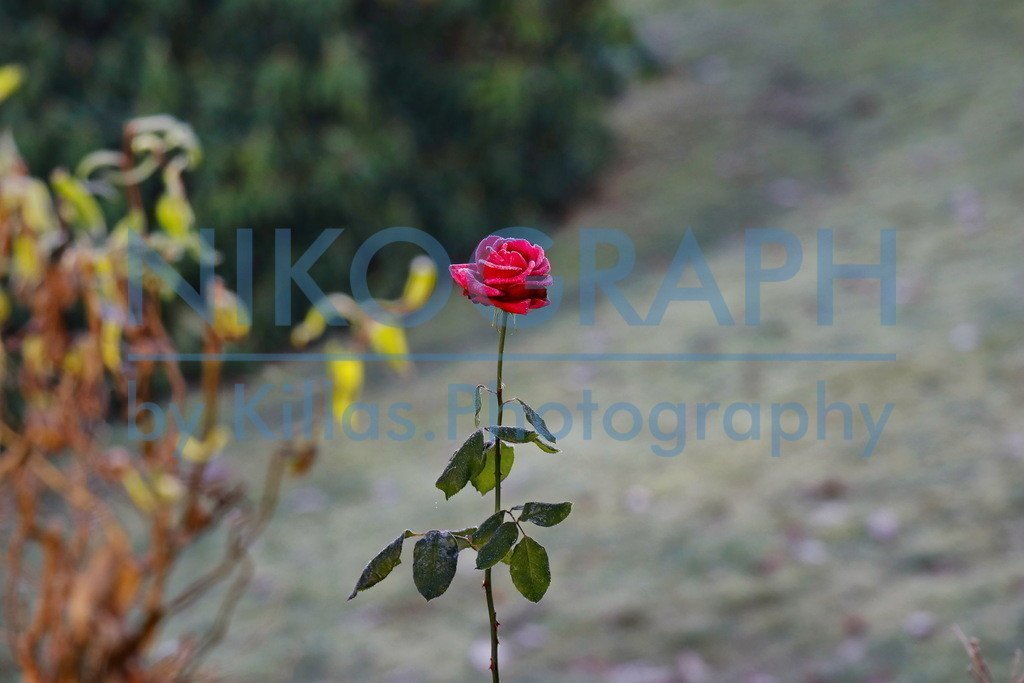Frostige Rose | Eine frostige Rose im herbstlichen Garten.