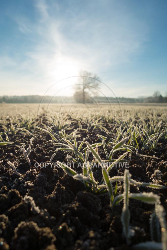 20161204-DSC01321 | junge Getreidepflanzen im Winter - AGRARMOTIVE