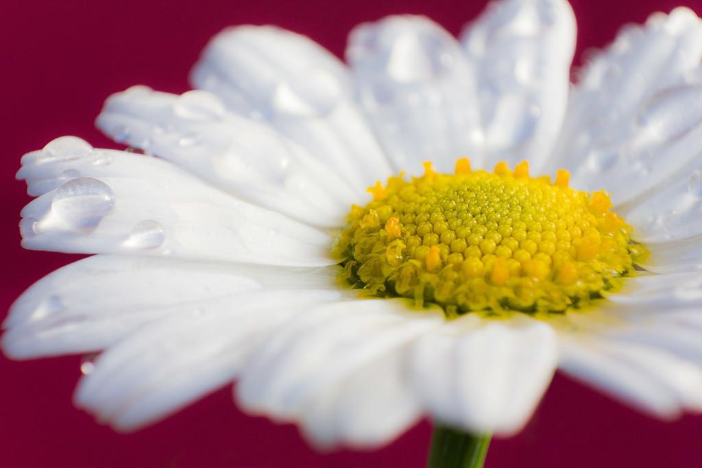 Margerite | Blumenmotiv