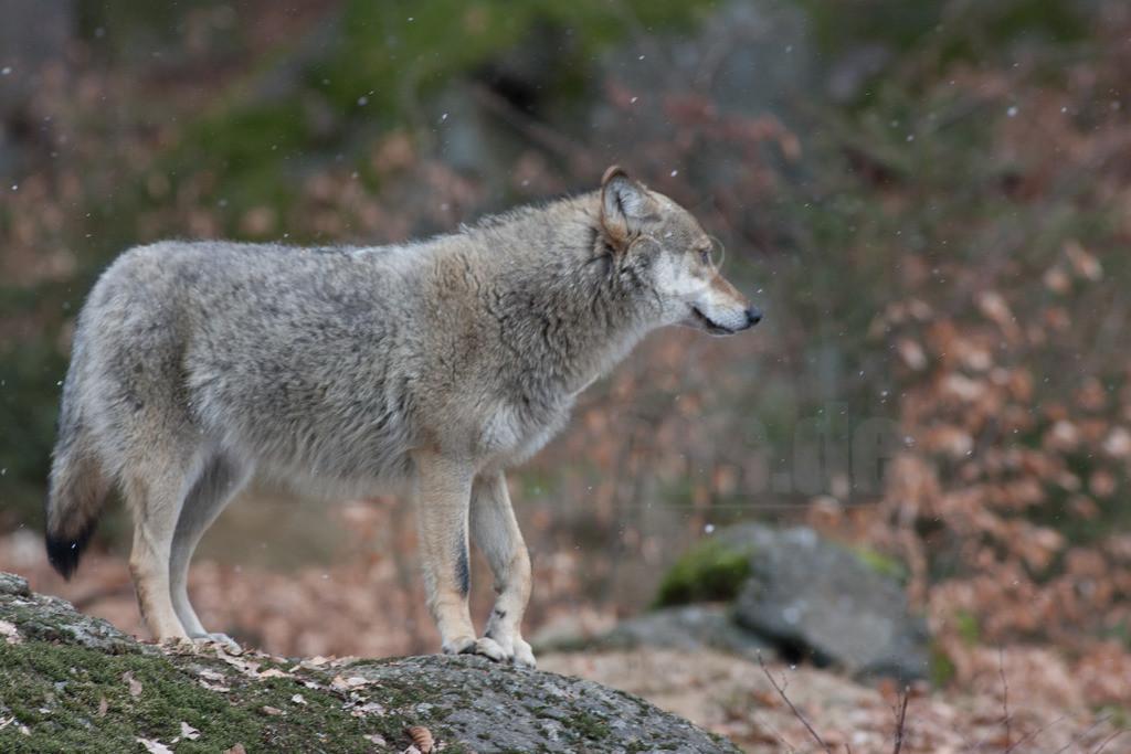 20080215_14114615140   Der Wolf ist rezent das größte Raubtier aus der Familie der Hunde. Wölfe leben meist in Familienverbänden, fachsprachlich Rudel genannt. Hauptbeute sind in den meisten Regionen mittelgroße bis große Huftiere.