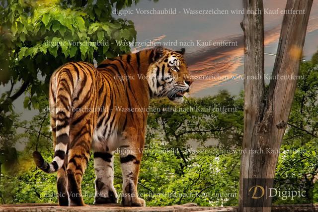 Tiger 1 -Vorschaubild | Tiger in Schönbrunn