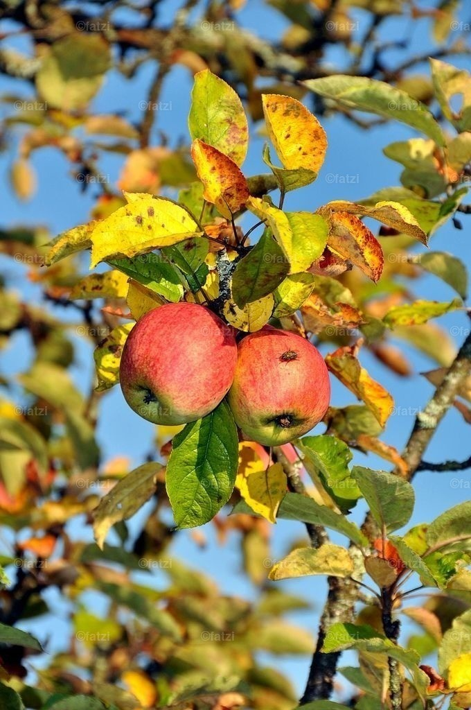 Dobr-Herbst-Apfel-2010_008k