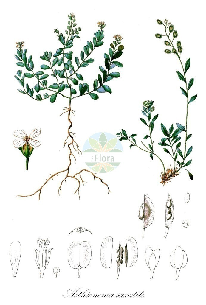 Historical drawing of Aethionema saxatile (Burnt Candytuft) | Historical drawing of Aethionema saxatile (Burnt Candytuft) showing leaf, flower, fruit, seed
