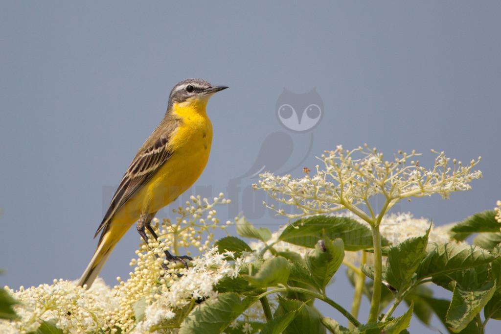 20110527_13535981178  | Die Art ist sehr vielgestaltig. So unterscheiden sich mehrere Unterarten, Männchen, Weibchen und Jungtiere. Kehle und Brust sind bei allen Männchen leuchtend gelb und bei den Weibchen blassgelb. Der Rücken ist bei allen Unterarten blassgrün.
