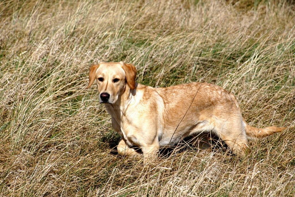 Labrador Retriever | Field Trial Linie