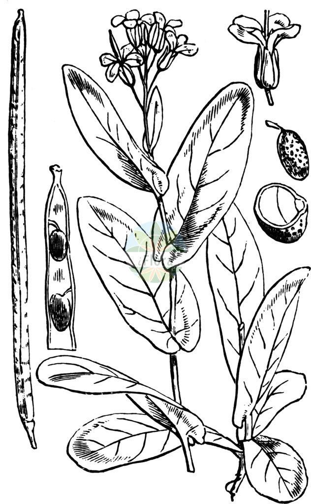 Conringia orientalis (Orientalischer Ackerkohl - Hare's-ear Musta   Historische Abbildung von Conringia orientalis (Orientalischer Ackerkohl - Hare's-ear Mustard). Das Bild zeigt Blatt, Bluete, Frucht und Same. ---- Historical Drawing of Conringia orientalis (Orientalischer Ackerkohl - Hare's-ear Mustard).The image is showing leaf, flower, fruit an