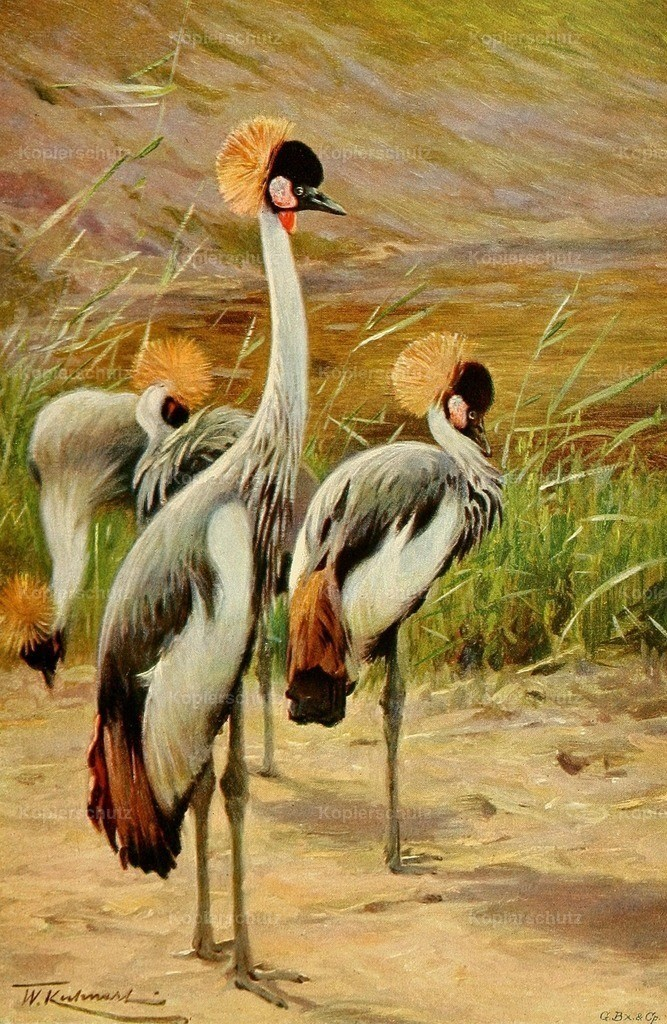 Kuhnert_ F.W. (1865-1926) - Wild Life of the World 1916 - Crowned Crane