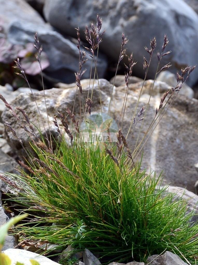 Festuca rupicaprina (Gaemsen-Schwingel - Chamois Fescue) | Foto von Festuca rupicaprina (Gaemsen-Schwingel - Chamois Fescue). Das Foto wurde in Schynige Platte, Interlaken, Bern, Schweiz aufgenommen. ---- Photo of Festuca rupicaprina (Gaemsen-Schwingel - Chamois Fescue).The picture was taken in Schynige Platte, Interlaken, Bern, Switzerland.