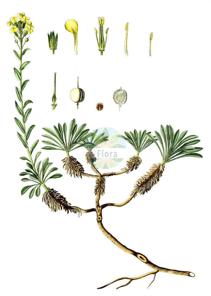 Alyssoides utriculata   Historische Abbildung von Alyssoides utriculata. Das Bild zeigt Blatt, Bluete, Frucht und Same. ---- Historical Drawing of Alyssoides utriculata.The image is showing leaf, flower, fruit and seed.
