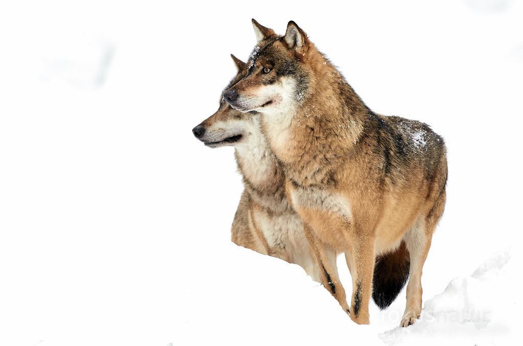Wolf im Schnee | Zwei Wölfe im Tiefschnee.