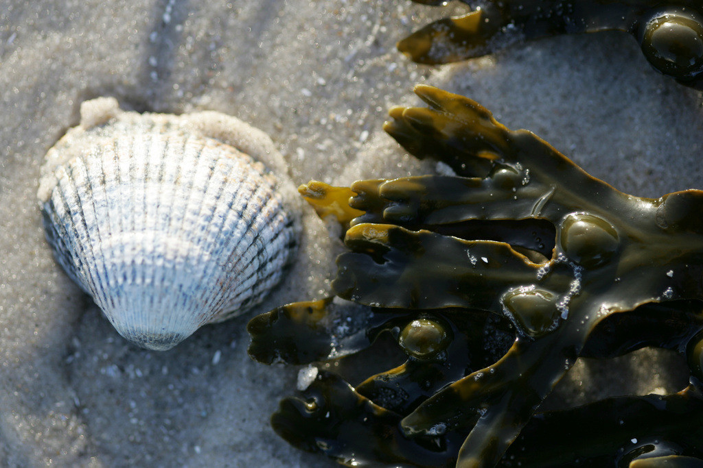 Nordseeinsel | Nordsee Insel Amrum, Nordfriesland. Blasentang, Fucus vesiculosus, am Strand, Herzmuschel, Cardium edule,