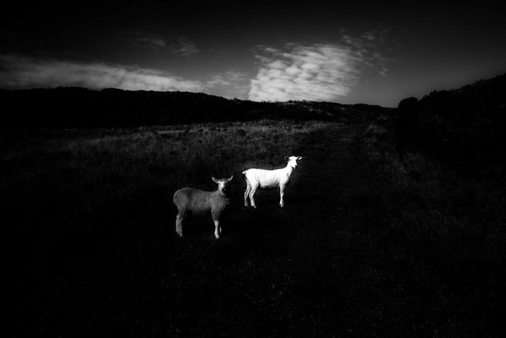 black and white | Ein schwarzes und ein weißes Schaf in der Nähe von Morte Point, Devon, England.