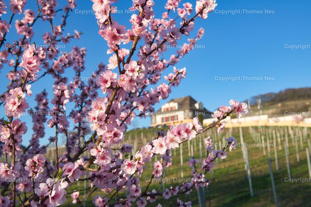DSC_2355   Frühling an der Hessischen Bergstraße, hier die Mandelblüte vor dem Rebmuttergarten in Heppenheim