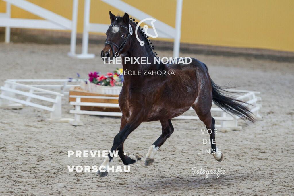 170204-33-HP-Veltin31 | Veltin von Sunbeam Vulcan aus der Whisper von Falanca's Rocky Bloemlust / Hackney Pony / Siegerhen