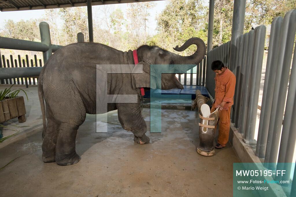 MW05195-FF | Thailand | Lampang | Reportage: Krankenhaus für Elefanten | Tierpfleger Paradee wird gleich dem vierjährigen Elefantenbaby Mosha die Beinprothese anlegen.  ** Feindaten bitte anfragen bei Mario Weigt Photography, info@asia-stories.com **