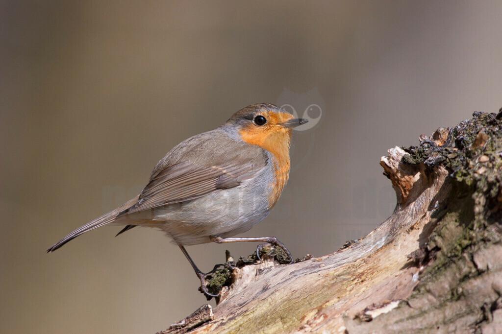 Rotkehlchen | Das Rotkehlchen gehört in Deutschland zu den häufigsten Brutvögeln. Mit seinem putzigen Aussehen und der lieblichen Stimme ist der Zugvogel hierzulande überaus beliebt.