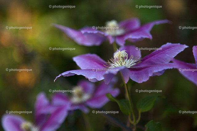 Clematis 1 | Nahaufnahme der Blüten einer lila Clematis bei Tageslicht vor einem dunklen Hintergrund mit Fokus auf einer Blüte