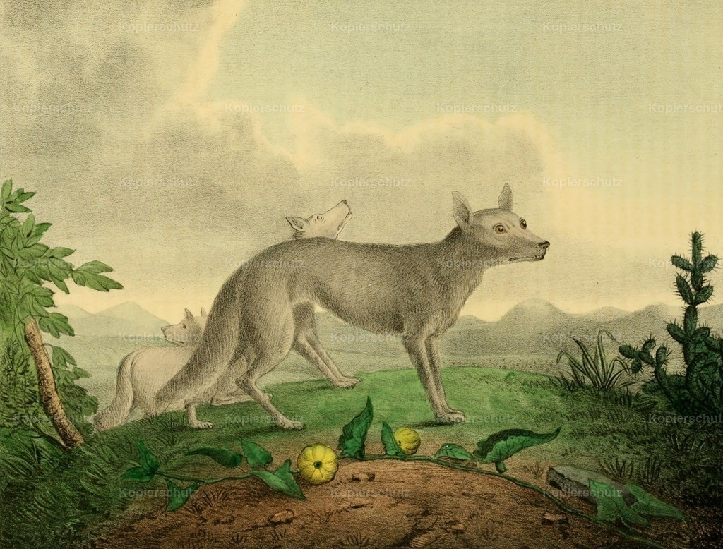 Newsam_ Albert (1809-1864) - Cabinet of Natural History 1830 - Prairie Wolves