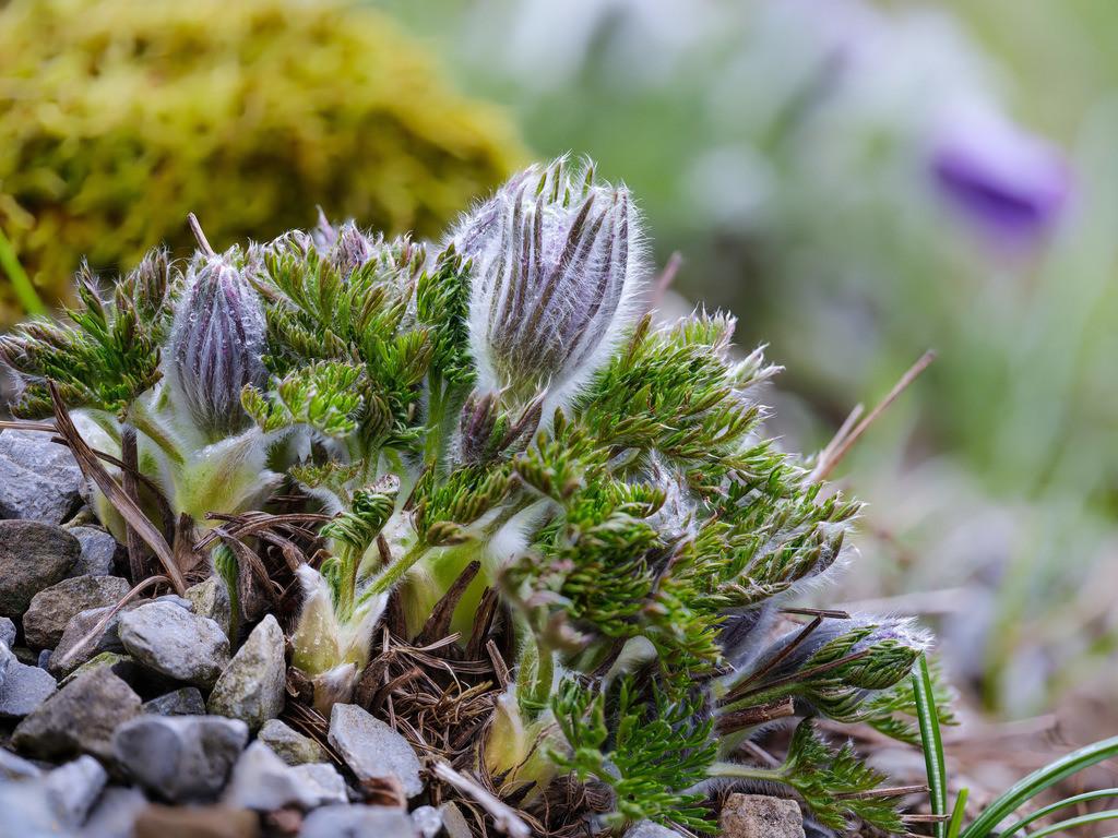 Gewöhnliche Kuhschelle - Pulsatilla vulgaris   Gewöhnliche Kuhschelle im April (Pulsatilla vulgaris).