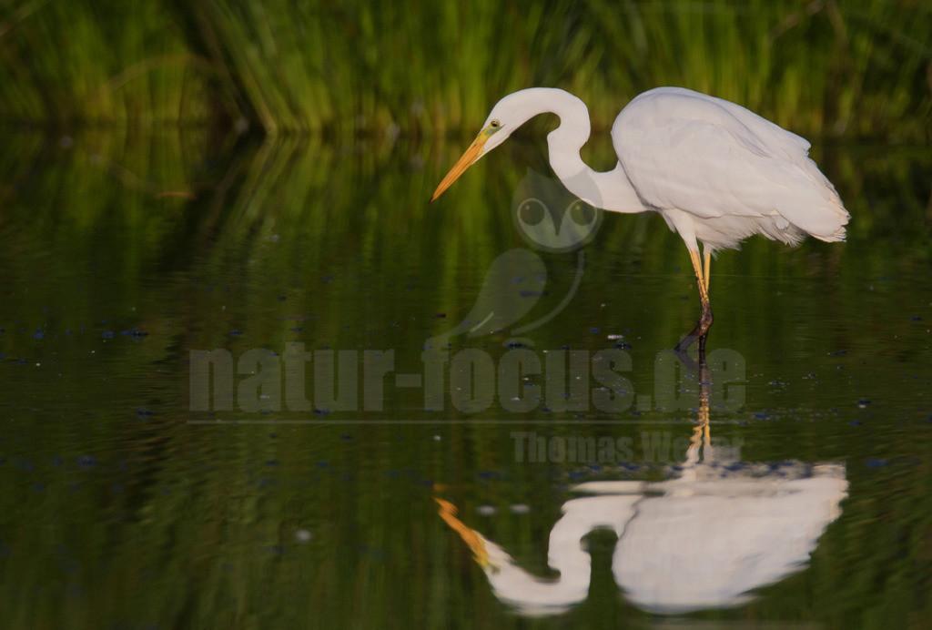 20180917-IMG_7388 | Der Silberreiher (Ardea alba, Syn.: Casmerodius albus, Egretta alba) gehört zur Familie der Reiher aus der Ordnung der Schreitvögel (Ciconiiformes). Es werden vier Unterarten unterschieden.