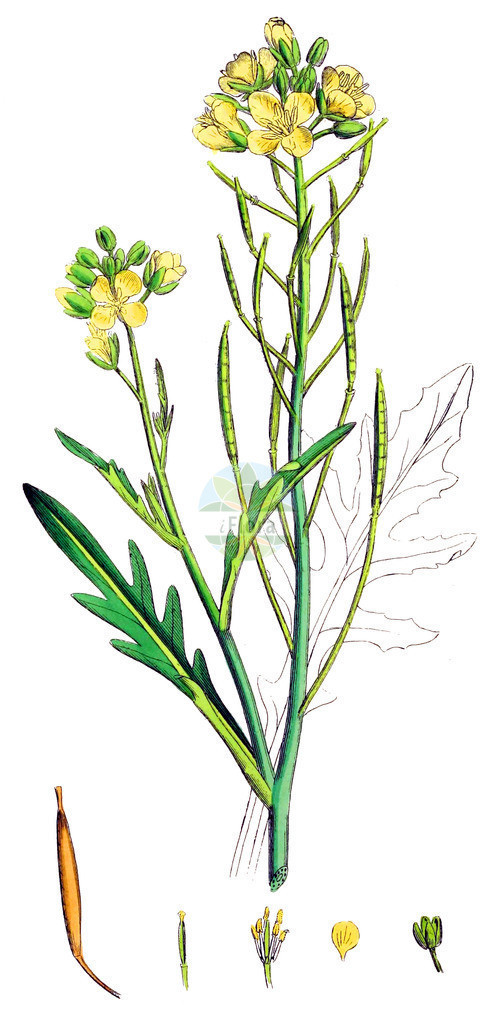 Diplotaxis tenuifolia (Schmalblaettriger Doppelsame - Perennial Wall-rocket) | Historische Abbildung von Diplotaxis tenuifolia (Schmalblaettriger Doppelsame - Perennial Wall-rocket). Das Bild zeigt Blatt, Bluete, Frucht und Same. ---- Historical Drawing of Diplotaxis tenuifolia (Schmalblaettriger Doppelsame - Perennial Wall-rocket).The image is showing leaf, flower, fruit and seed.