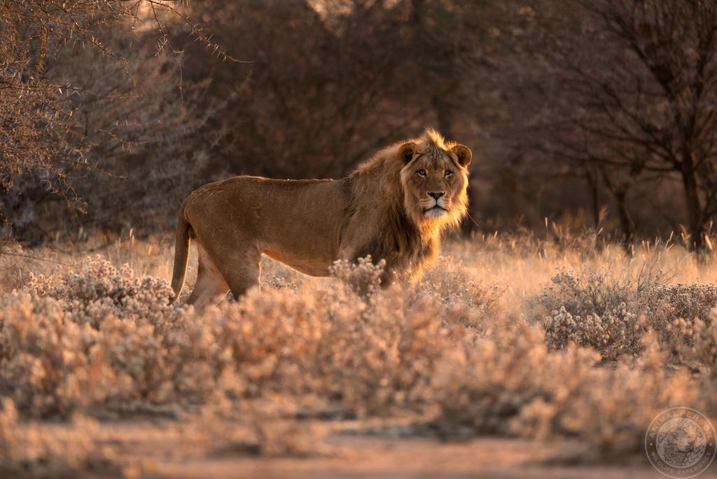 Löwe im Sonnenaufgang
