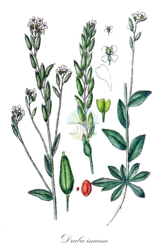 Historical drawing of Draba incana (Hoary Whitlowgrass)   Historical drawing of Draba incana (Hoary Whitlowgrass) showing leaf, flower, fruit, seed
