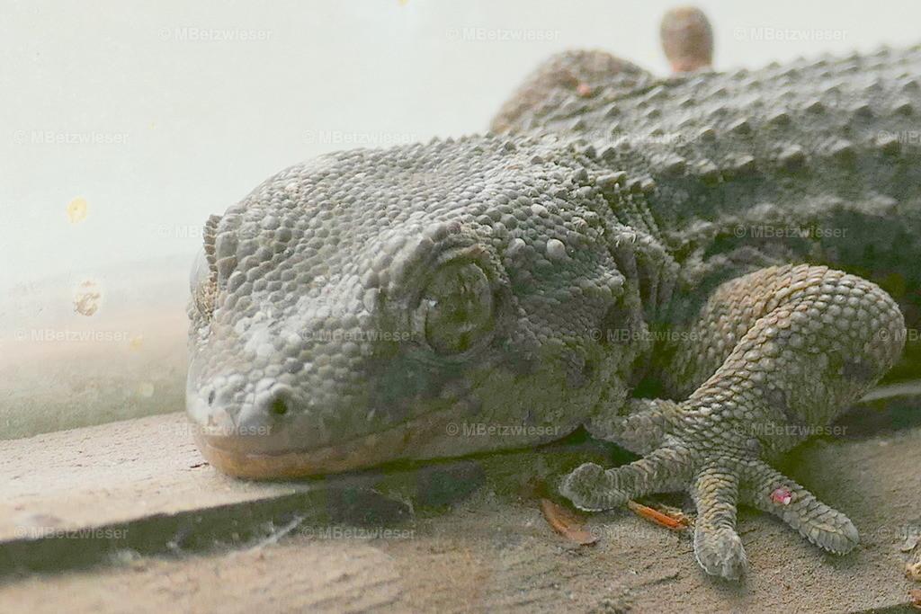 P1000843 | Geckos bevölkern seit etwa 50 Millionen Jahren die Erde