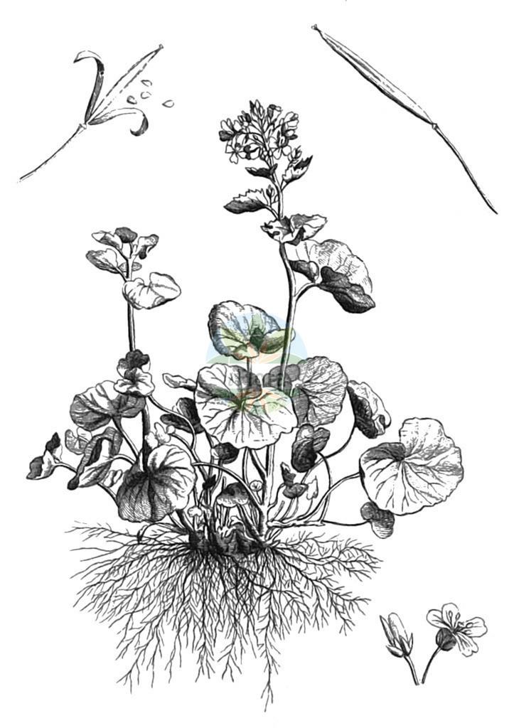 Cardamine asarifolia | Historische Abbildung von Cardamine asarifolia. Das Bild zeigt Blatt, Bluete, Frucht und Same. ---- Historical Drawing of Cardamine asarifolia.The image is showing leaf, flower, fruit and seed.