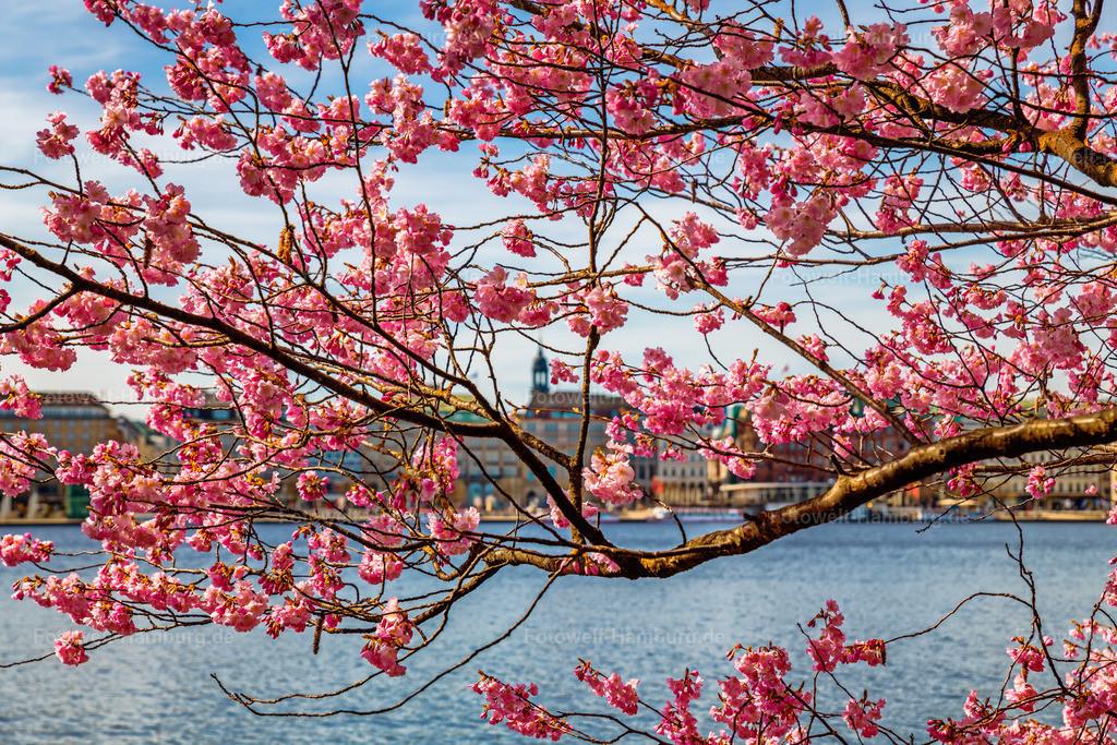 10210402 - Kirschblüten an der Alster IV | Blick durch blühende Kirschblüten auf den Michel und den Jungfernstieg.