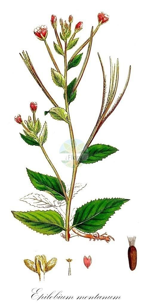 Historical drawing of Epilobium montanum (Broad-leaved Willowherb) | Historical drawing of Epilobium montanum (Broad-leaved Willowherb) showing leaf, flower, fruit, seed