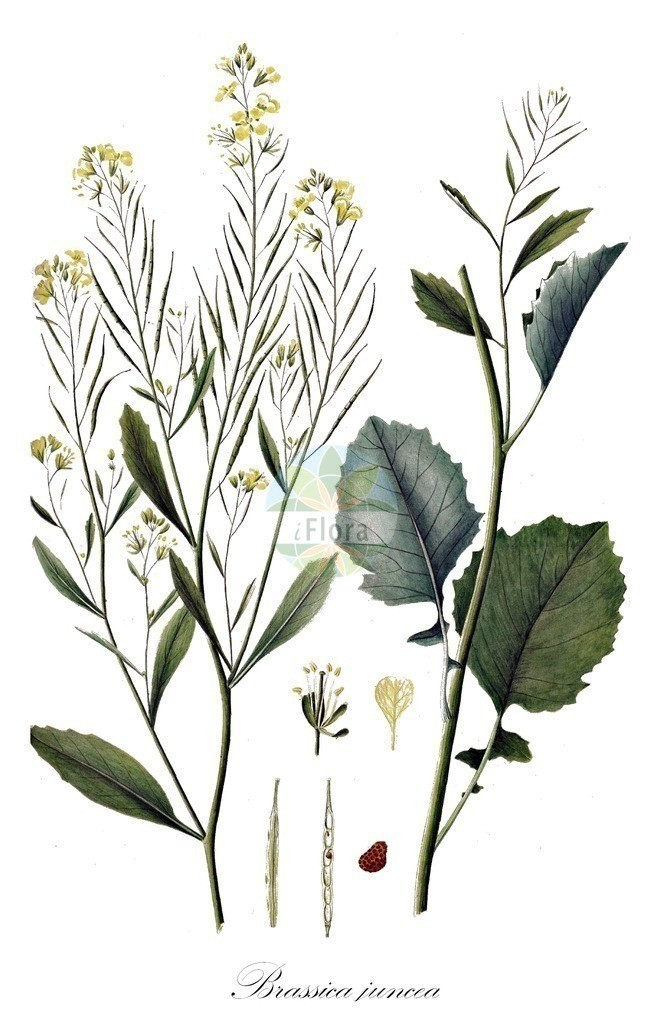 Historical drawing of Brassica juncea (Chinese Mustard) | Historical drawing of Brassica juncea (Chinese Mustard) showing leaf, flower, fruit, seed