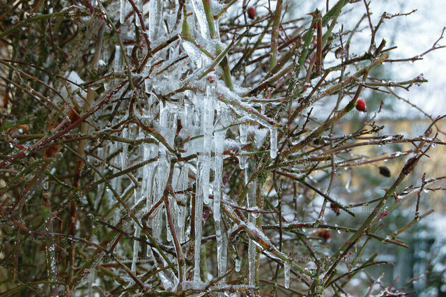 Eiszapfen auf einem Baum nach dem Eisregen