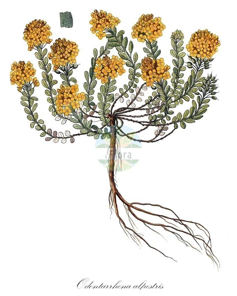 Historical drawing of Odontarrhena alpestris   Historical drawing of Odontarrhena alpestris showing leaf, flower, fruit, seed