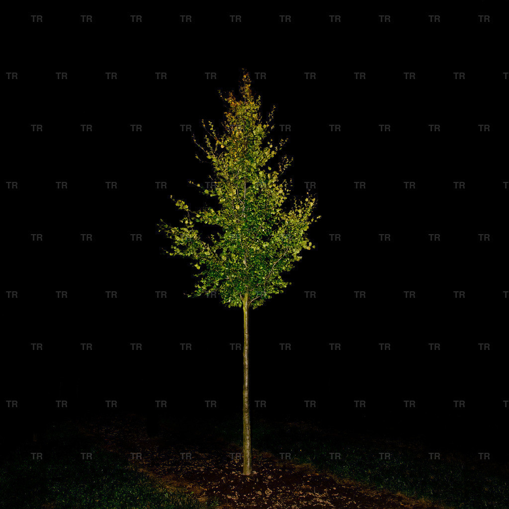 Fagus sylvatica-night2014.1