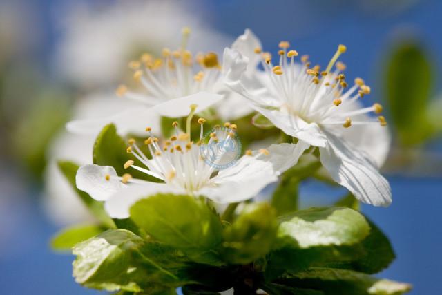Apfelblüten   Nahaufnahme weisser Apfelblüten vor blauem Himmel