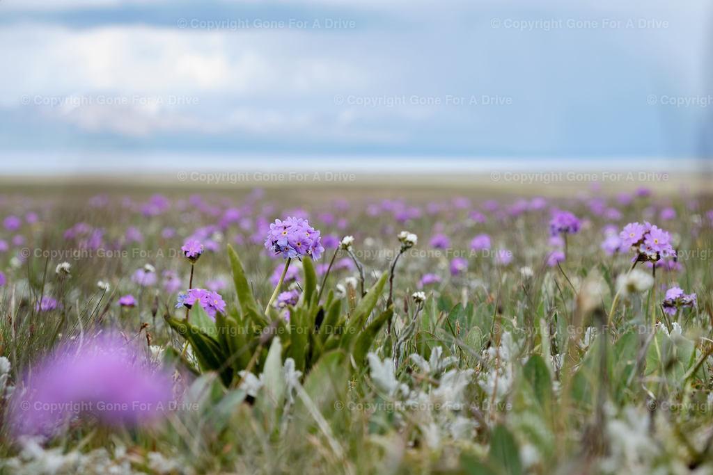 Kirgistan   Bergblumenwiese beim Songköl See auf 3.000 m Höhe