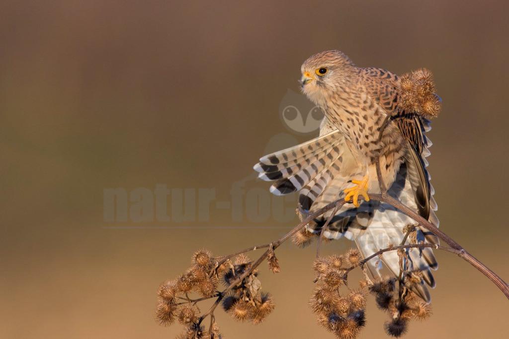 20181021-IMG_7903 Kopie | Der Turmfalke (Falco tinnunculus) ist der häufigste Falke in Mitteleuropa. Vielen ist der Turmfalke vertraut, da er sich auch Städte als Lebensraum erobert hat und oft beim Rüttelflug zu beobachten ist.