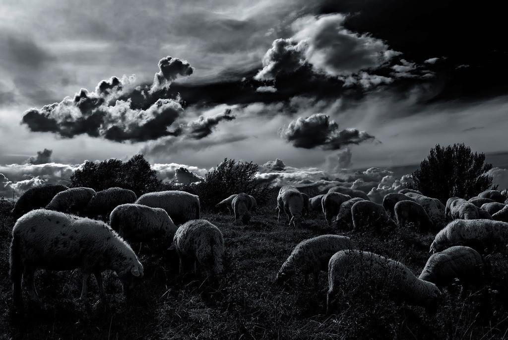 Schäfchenwolken | Schafe und Wolken verschmelzen ineinander