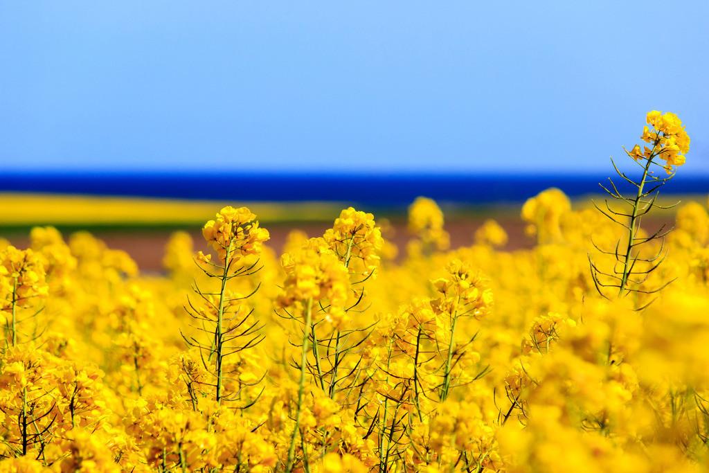 Raps an der Ostsee | Rapsblüte an der Steilküste