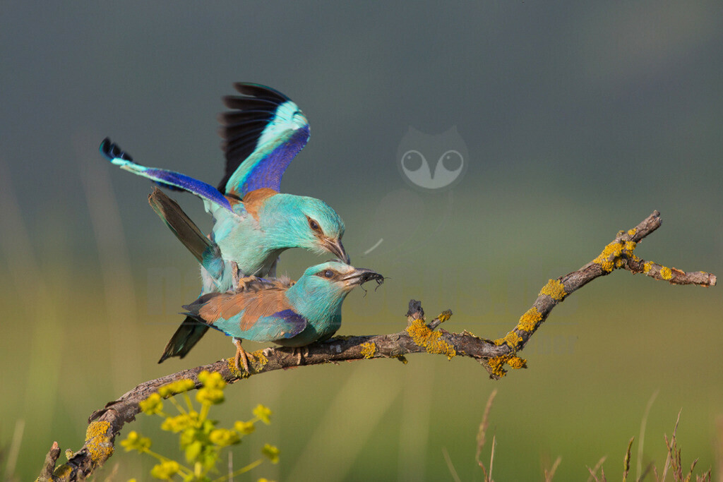 20140523_181526 Kopie   Die Blauracke ist ein etwa hähergroßer Vertreter der Racken. Im deutschen Sprachraum wird die Art auch Mandelkrähe genannt. Der mit türkisfarbenen und azurblauen Gefiederbereichen sehr auffallend gefärbte Vogel ist in Europa der einzige Vertreter dieser Familie.