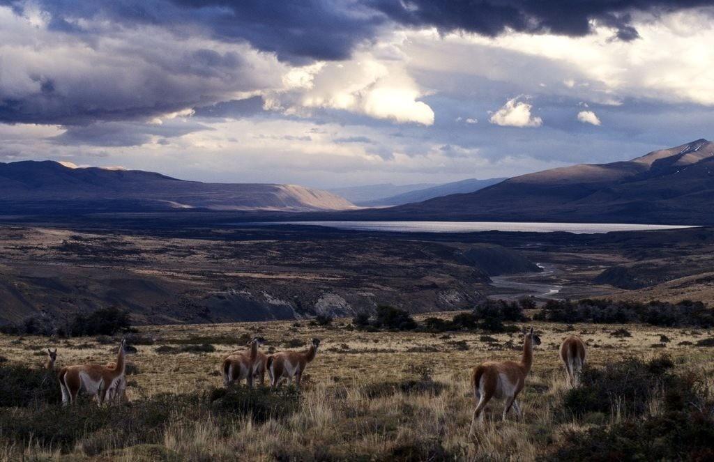 JT-040802-039.JPG | Chile, Patagonien: Nationalpark Torres del Paine, grasende Guanacos in der Pampa oestlich des Parks.