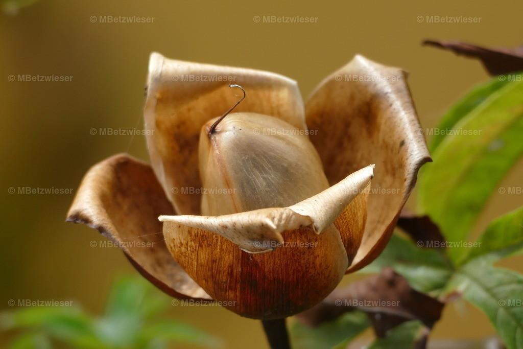 P1010711 | Eine Zierpflanze auf La Palma, die im Oktober blüht.