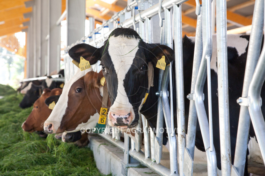 20110627-IMG_3046   Milchkühe im Boxenlaufstall