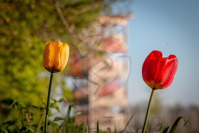 Tulpen am Aulehrpfad